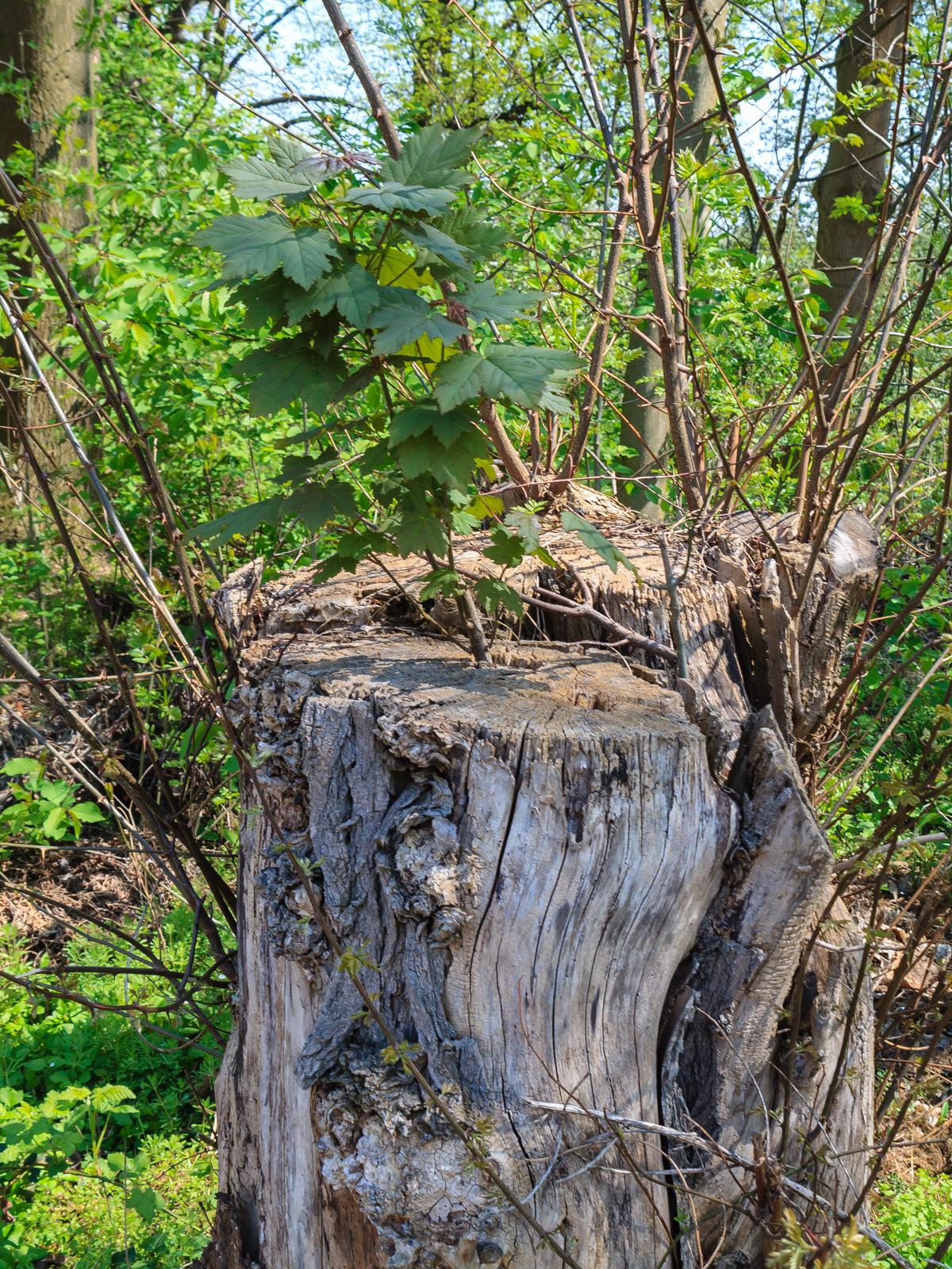 junger Ahorn wächst aus Baumstumpf