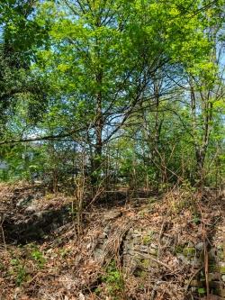 alte Steinmauer, im Hintergrund Bergahorn