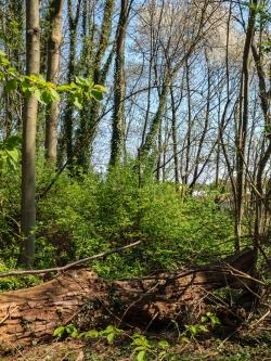 liegendes Totholz, im Hintergrund blühende Vogelkirsche