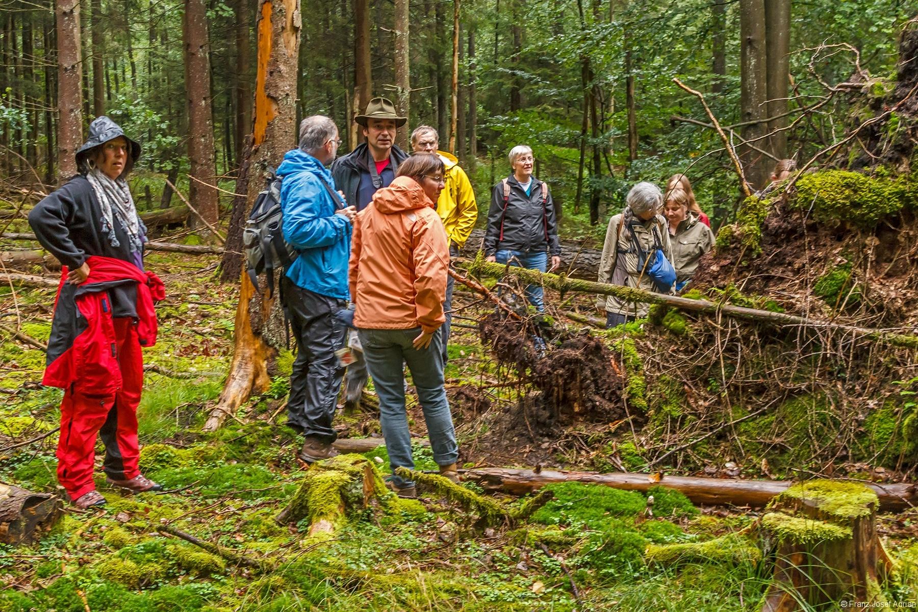 vertikaler Wurzelteller einer Fichte in der Waldabteilung Pflanzung