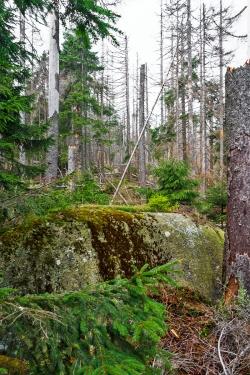 abgestorbener Fichtenwald im mittleren Abschnitt
