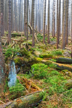 abgestorbener Fichtenwald mit Jungfichten