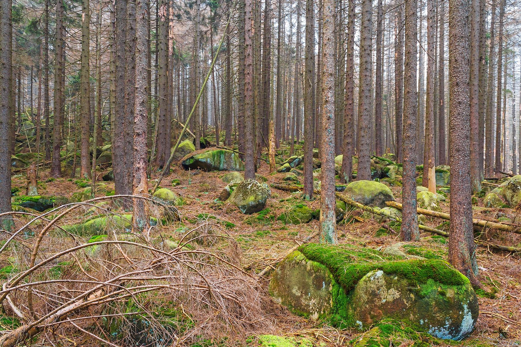 Granitfelsen im abgestorbenen Fichtenwald im unteren Abschnitt des Schneelochwegs