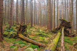3 umgeworfene Fichten im abgestorbenen Fichtenwald