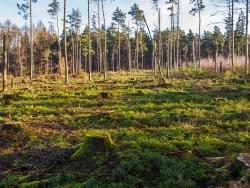 dicht gedrängte junge Fichten am Waldboden