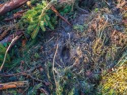 Spuren eines Rehs auf dem Schlag