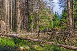 umgeworfene tote Fichten über dem Forstweg