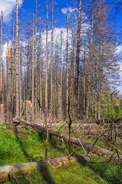 querliegende Fichtenstämme über den Forstweg