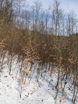 Buchenplantage