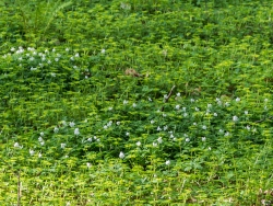 Milzkraut und Buschwindröschen auf Teichinsel