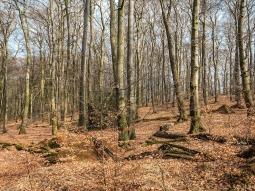 Totholzrreichtum und immergrüne Stechpalme im Mittelgrund