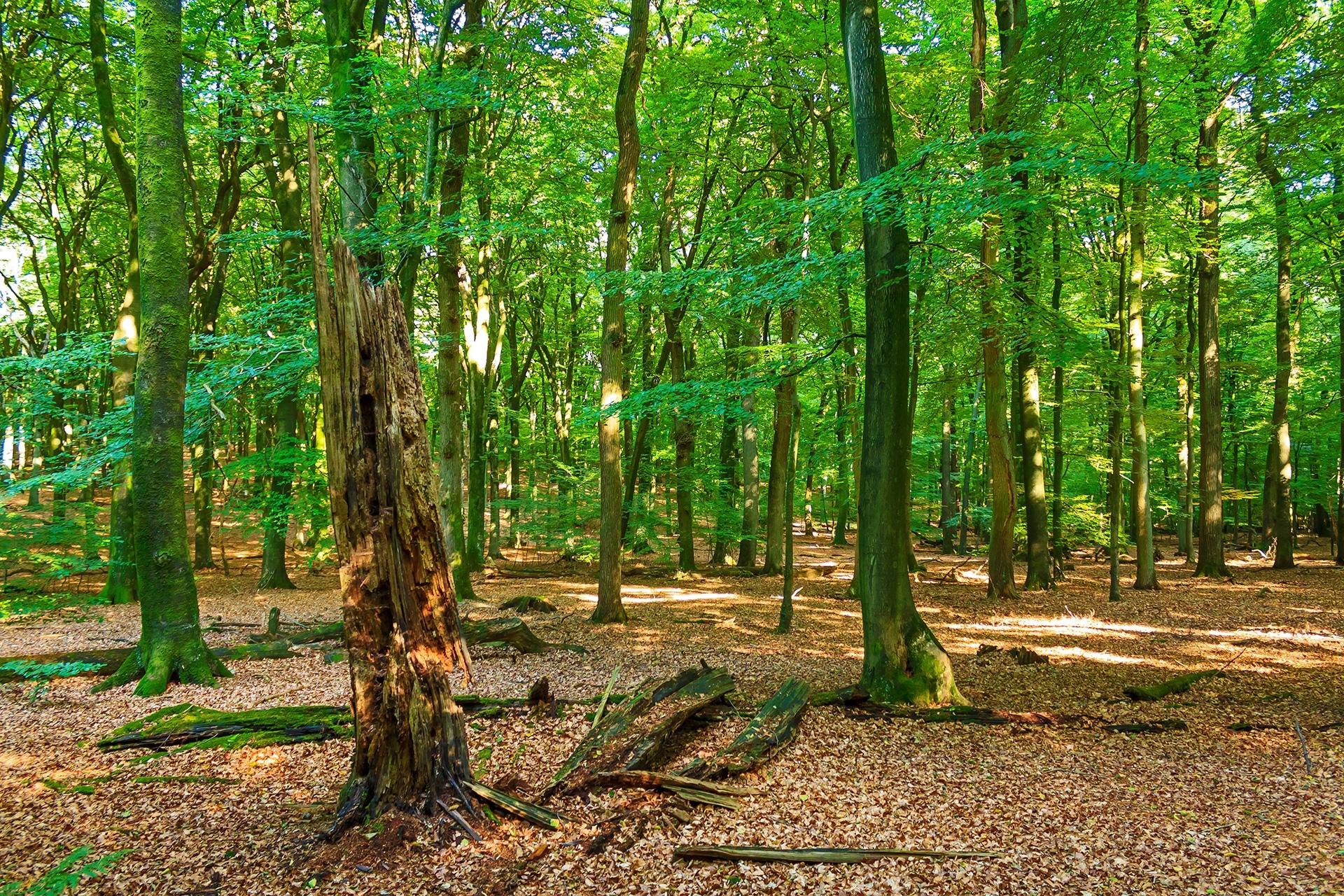 unnatürlich leerer Waldboden ohne Verjüngung