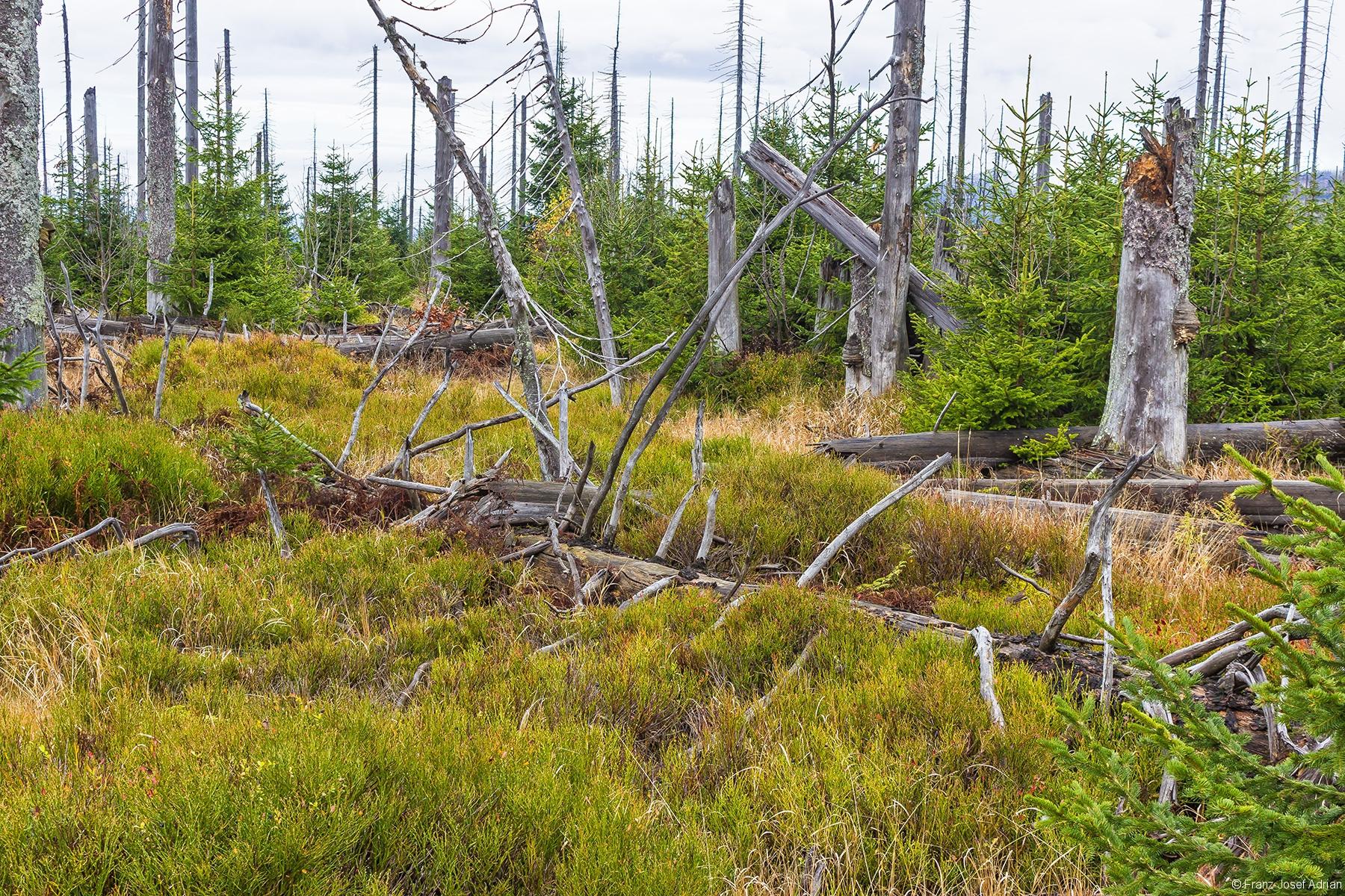 junger Urwald am Südhang des Lusen