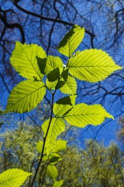 Blätter der Bergulme