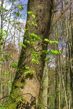 Blätter des Spitzahorns