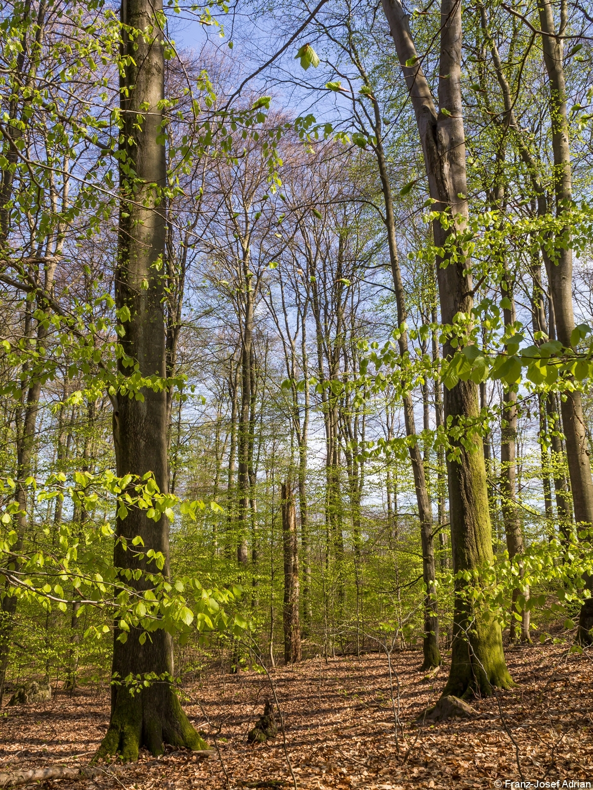 Eindrucksvolle Altbuchen und stehendes Totholz