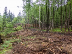 angepflanzte Birken wurden umgeknickt und entwurzelt