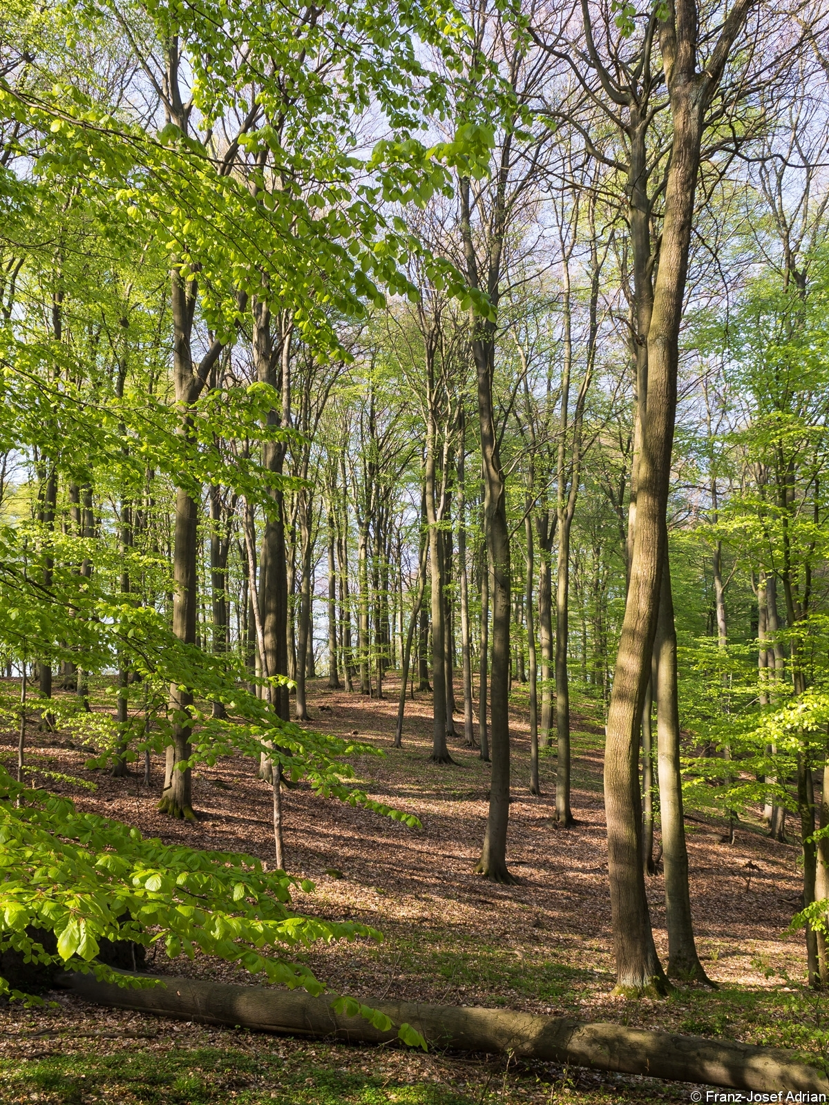 Hallenwald mit liegendem Totholz