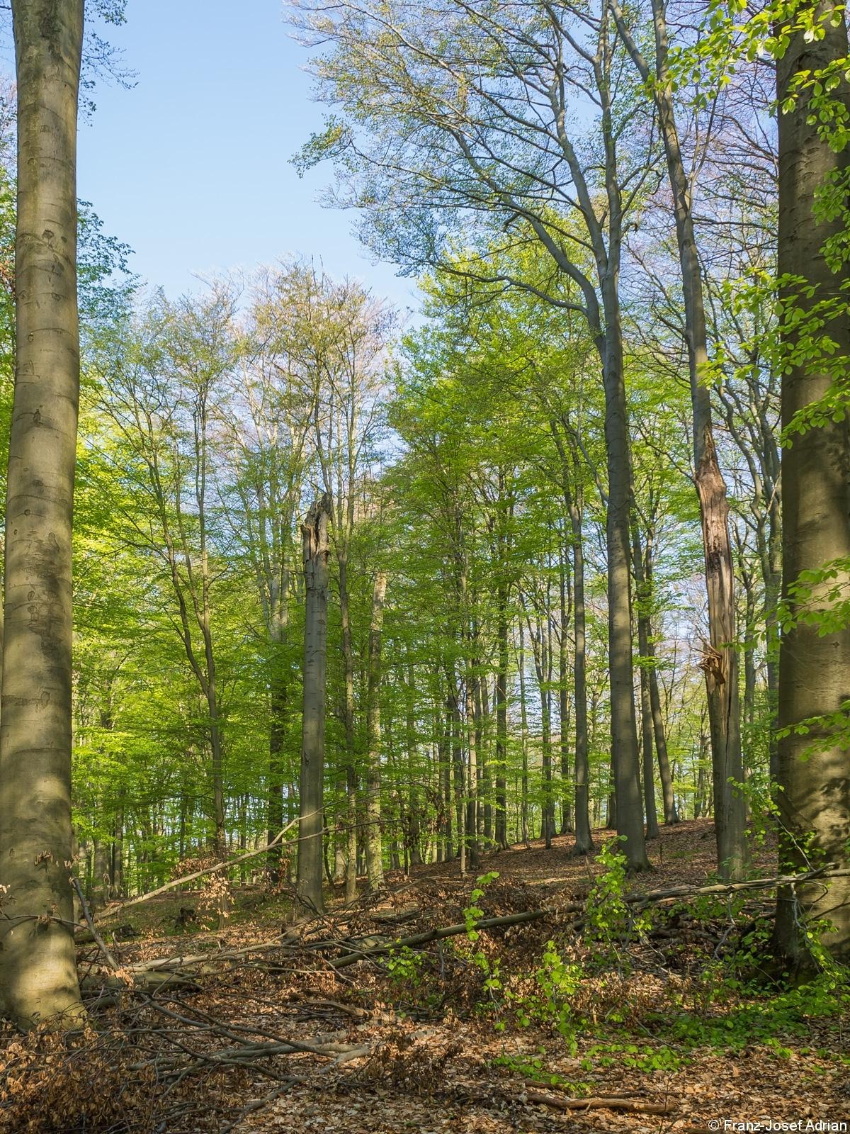Stehender Totholzbaum