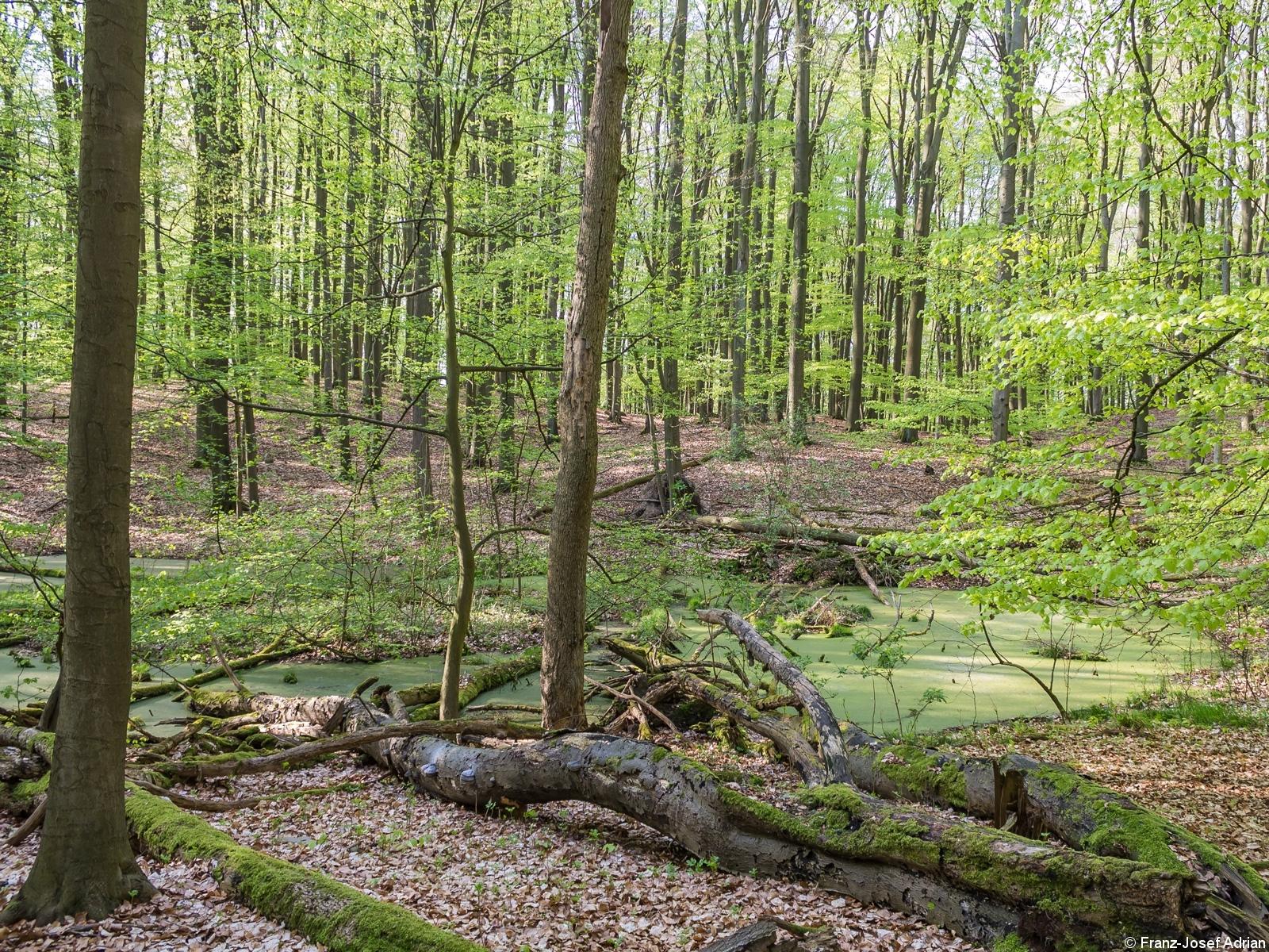 Altholz an einem kleinen Tümpel