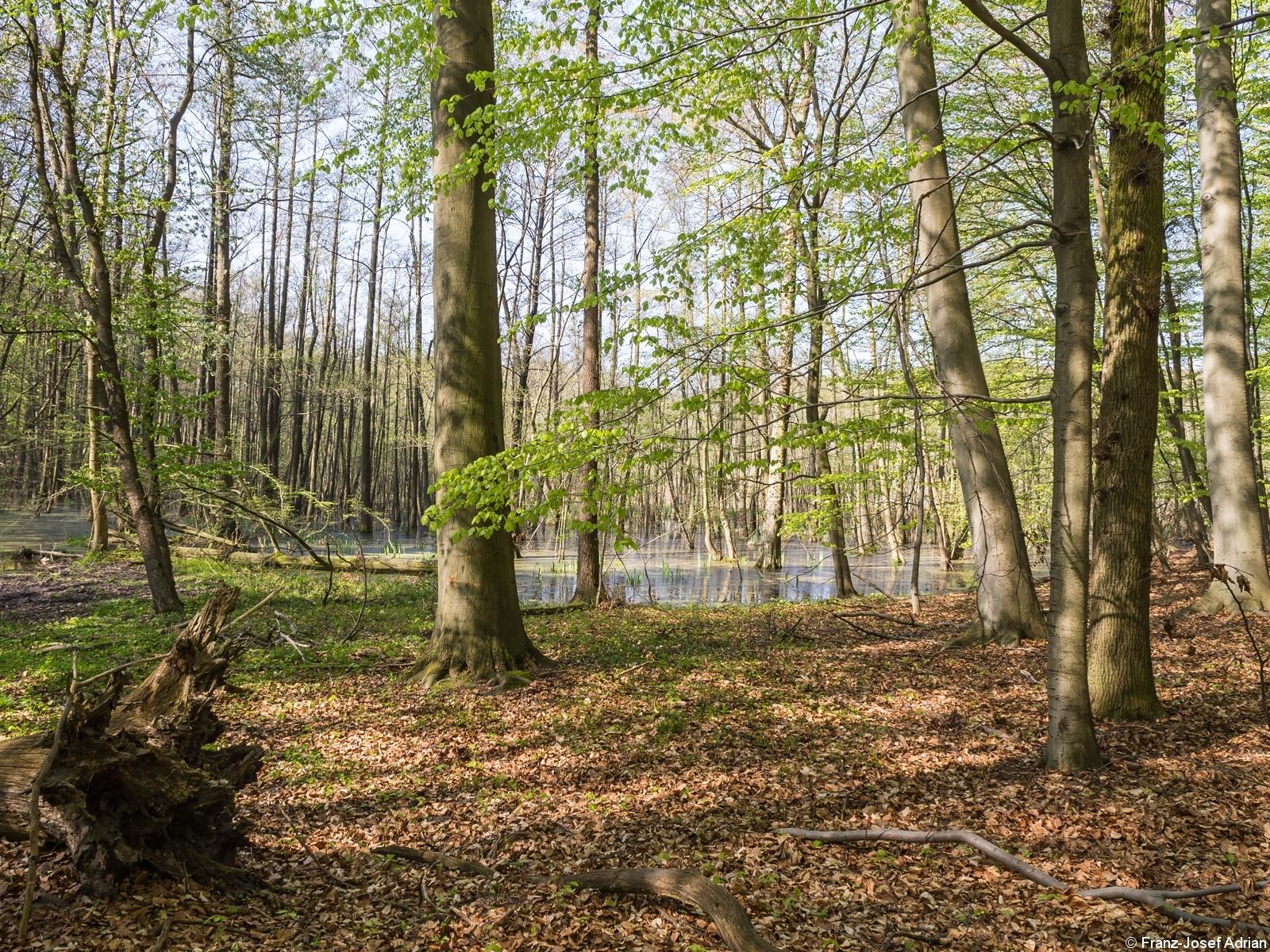 Mächtige Altbuche vor Erlen-Bruchwald