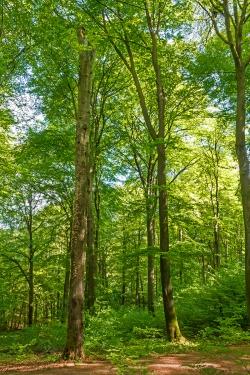 vorne links ein verpilzter Habitatbaum am Hauptweg