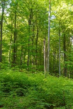 abgebrochene Altbuche umringt von Naturverjüngung abseits der Wege