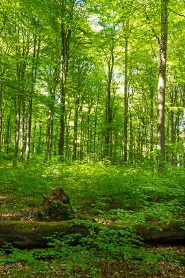 starkes liegendes Totholz inmitten von Naturverjüngung