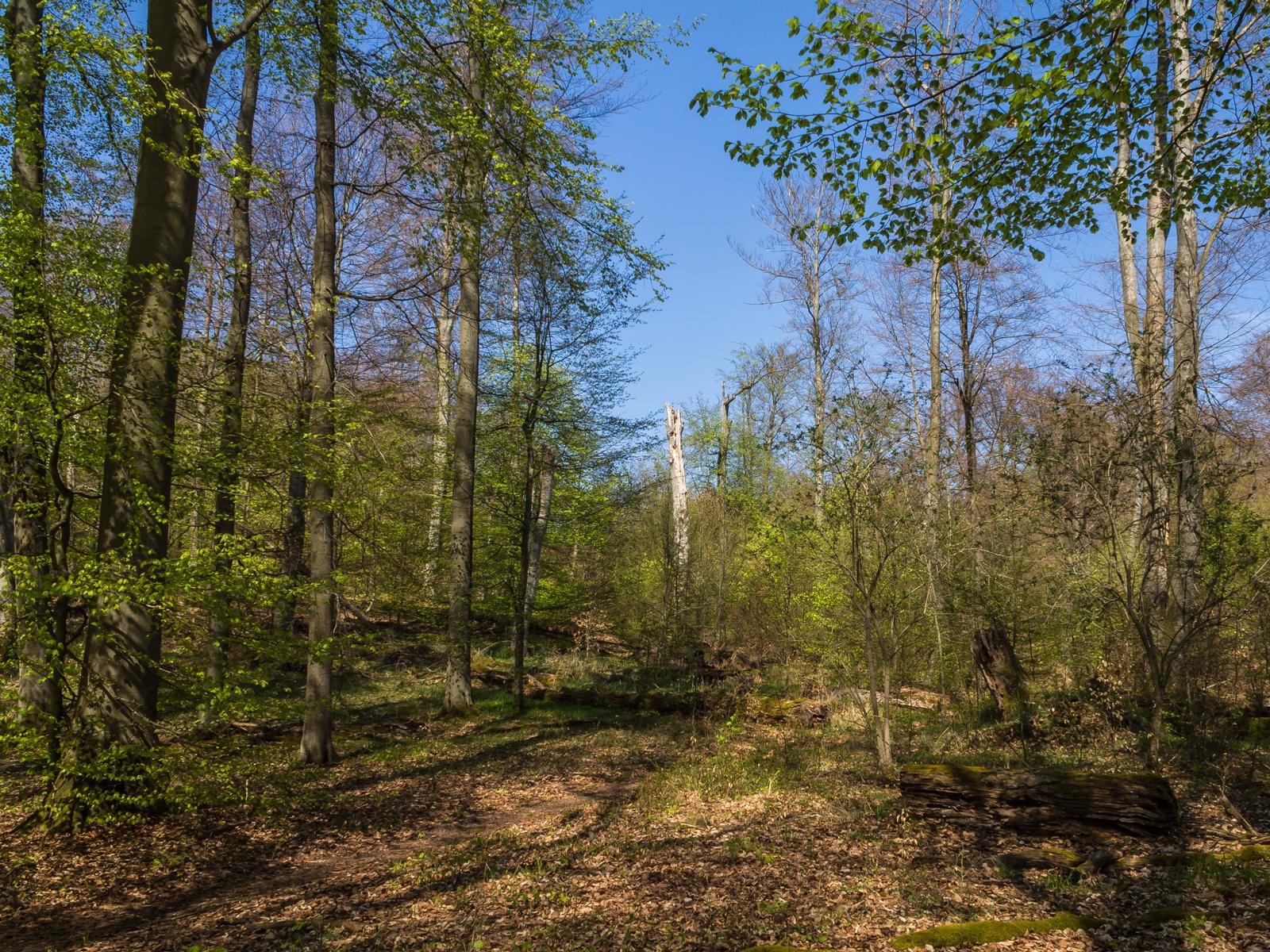 Buchennachwuchs auf der Hälfte der Waldfläche