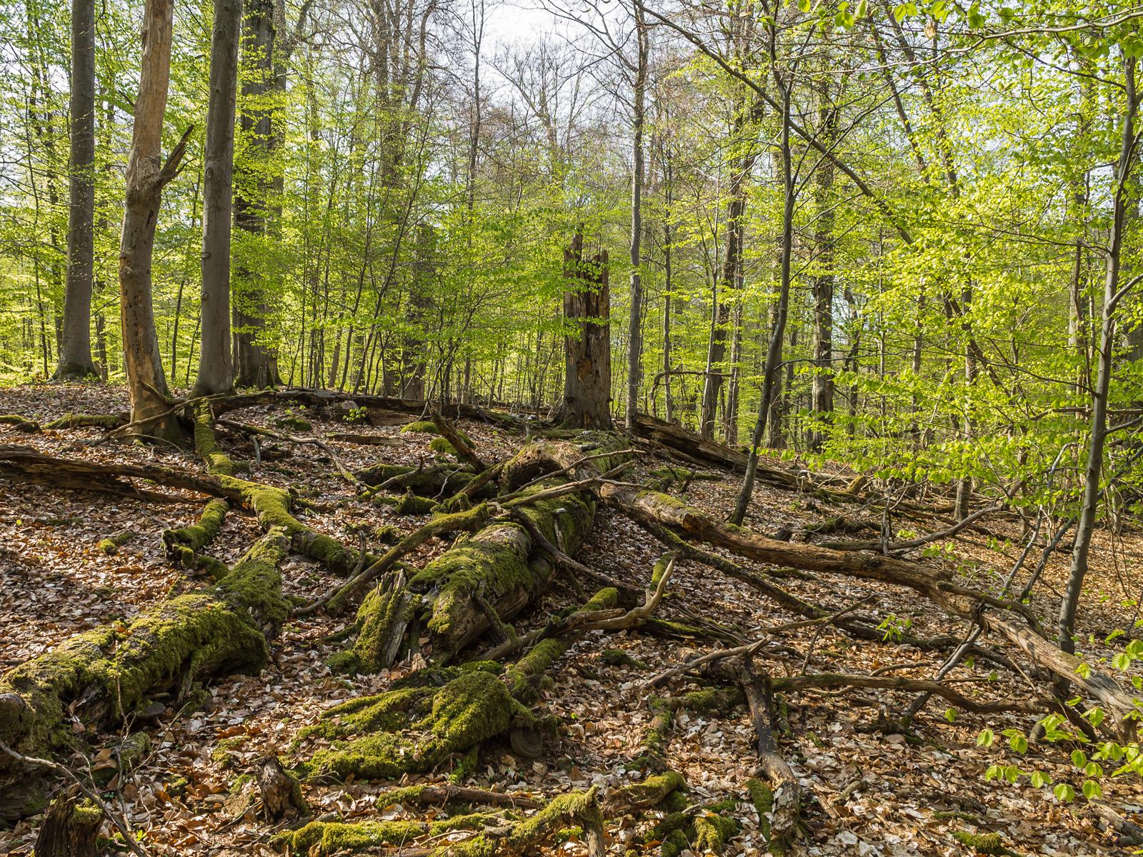 Gewaltige Mengen liegendes Totholz