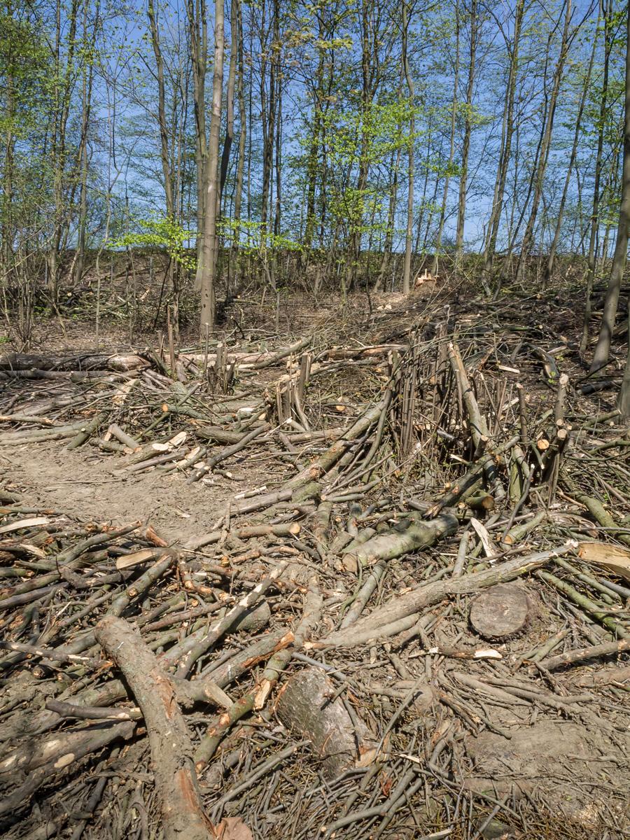 rücksichtsloses Abholzen von Haselsträuchern für die Rückegasse