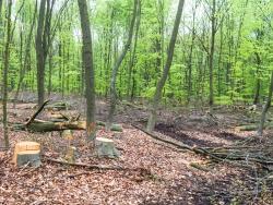 Rückegasse mit Baumstümpfen