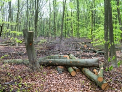 Kronenabfälle maschinell gefällter Bäume