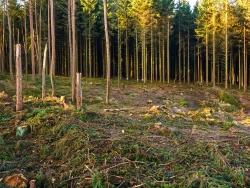 durch rabiaten Harvestereinsatz abgebrochene Baumstämme