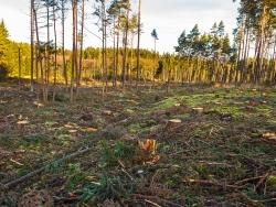 Harvester hinterlassen Kiefernstubben mit gerader Schnittfläche