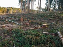 durch Harvester umgeknickte alte Birken