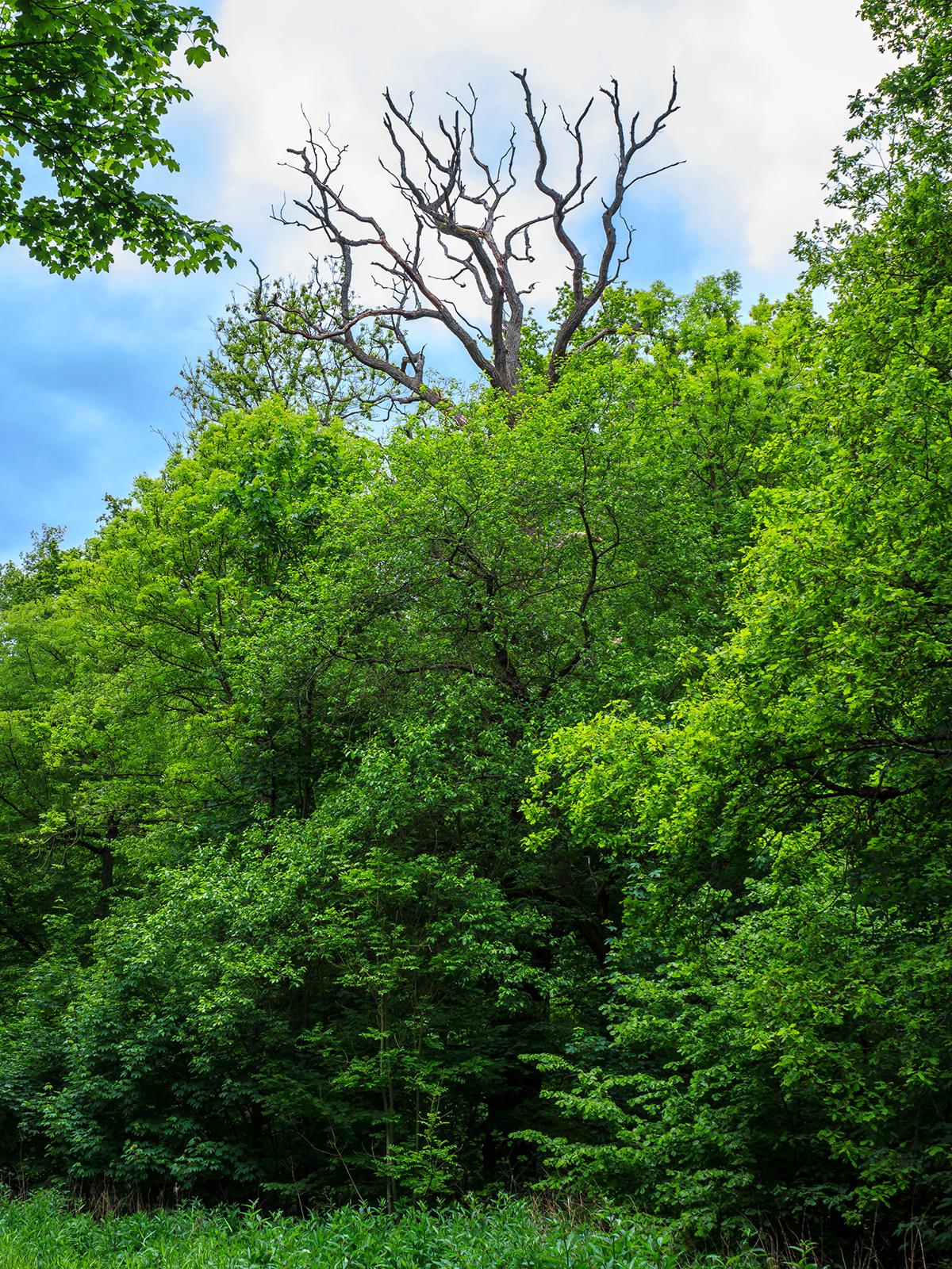 vorwüchsige abgestorbene Eiche am Waldrand