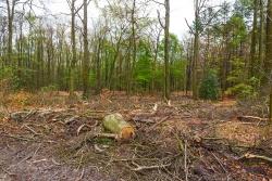 Überreste eines alten Buchenwalds