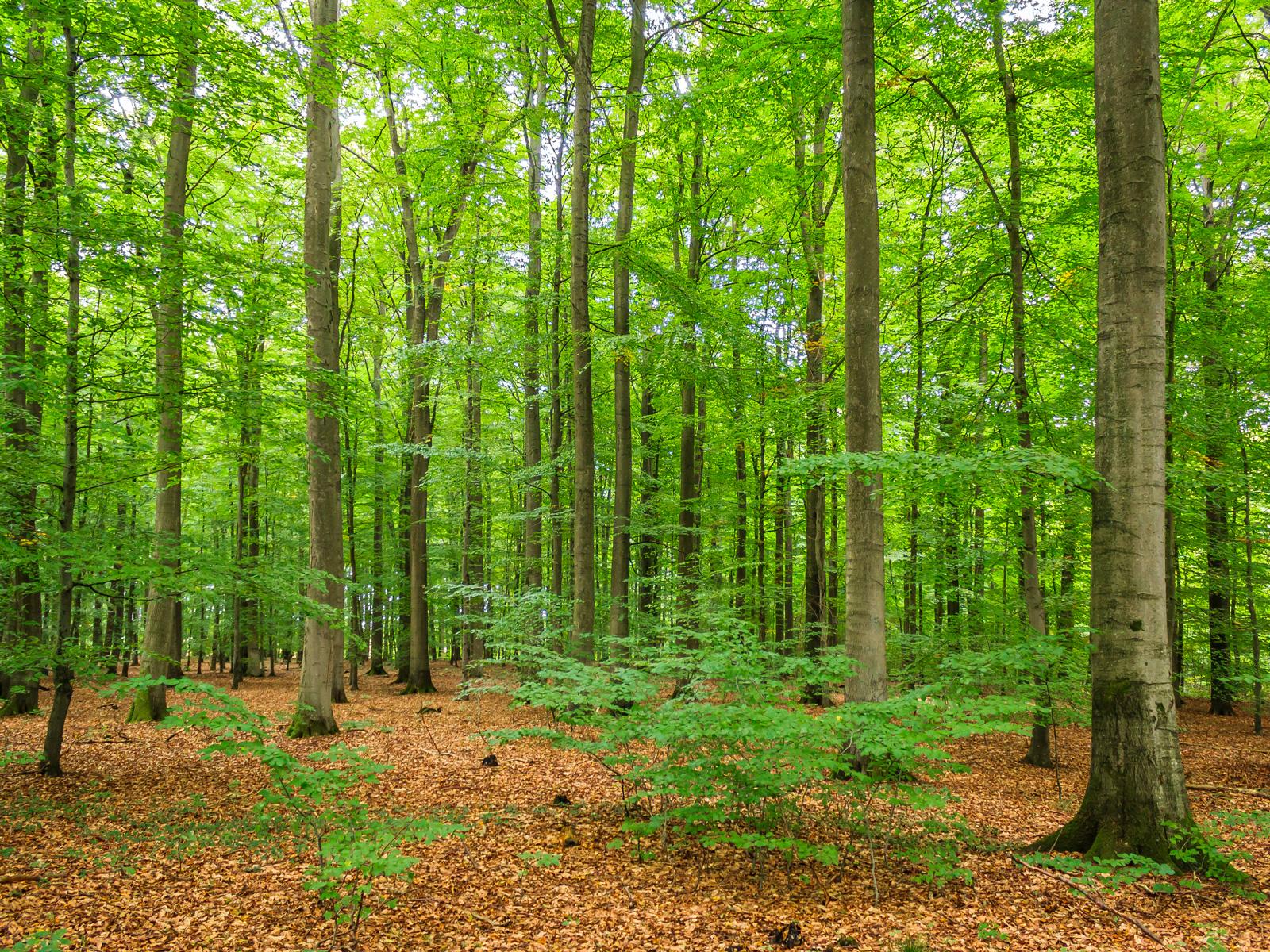Naturverjüngung zwischen Altbuchen
