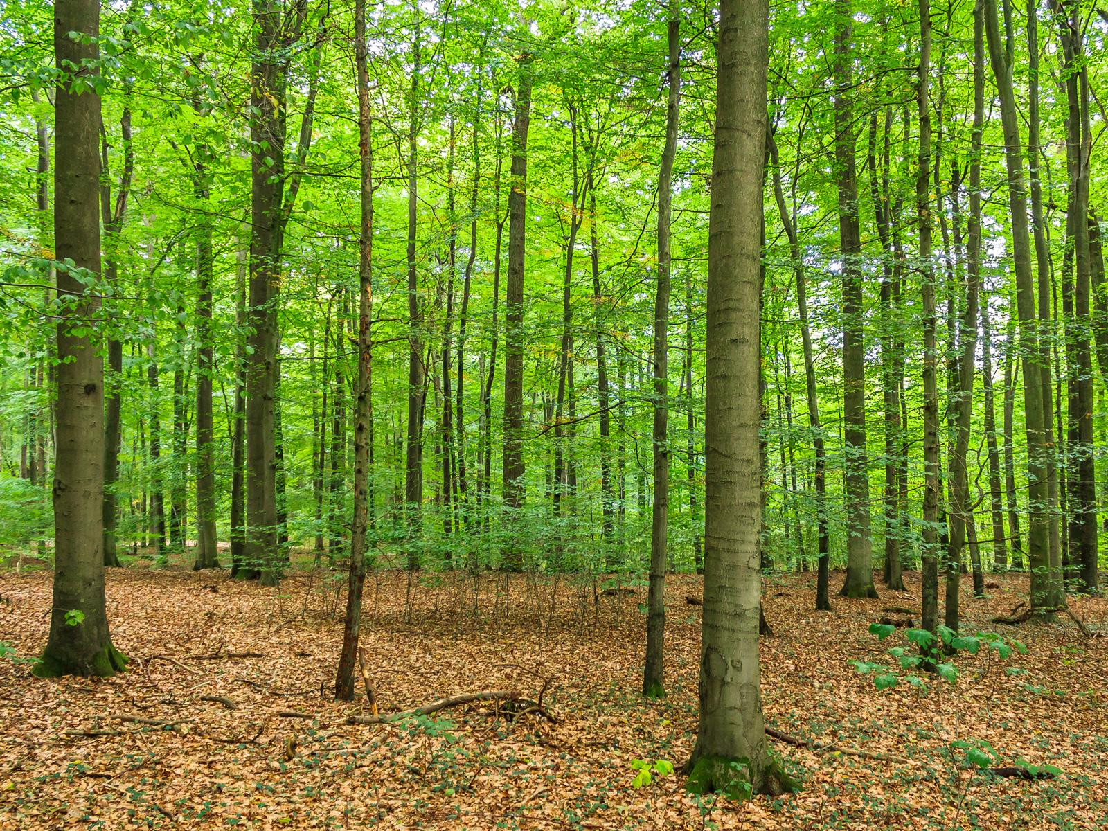 Buchenwald mit Naturverjüngung im Mittelgrund