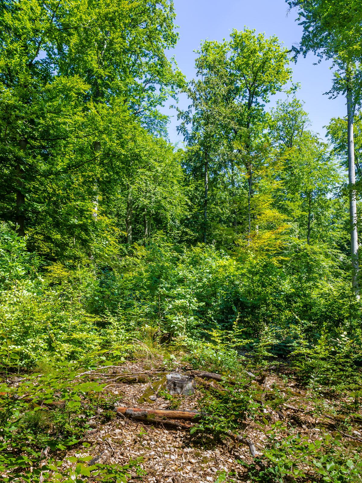 Buchenverjüngung hinter Baumstumpf