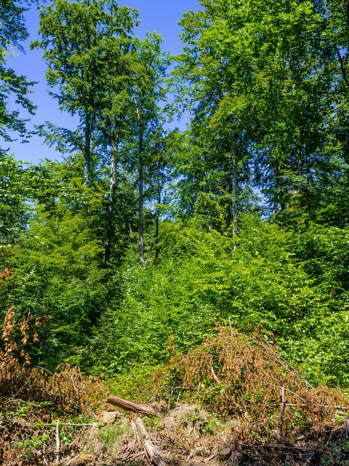 Buchenjungwuchs hinter Kronenbiotopholz