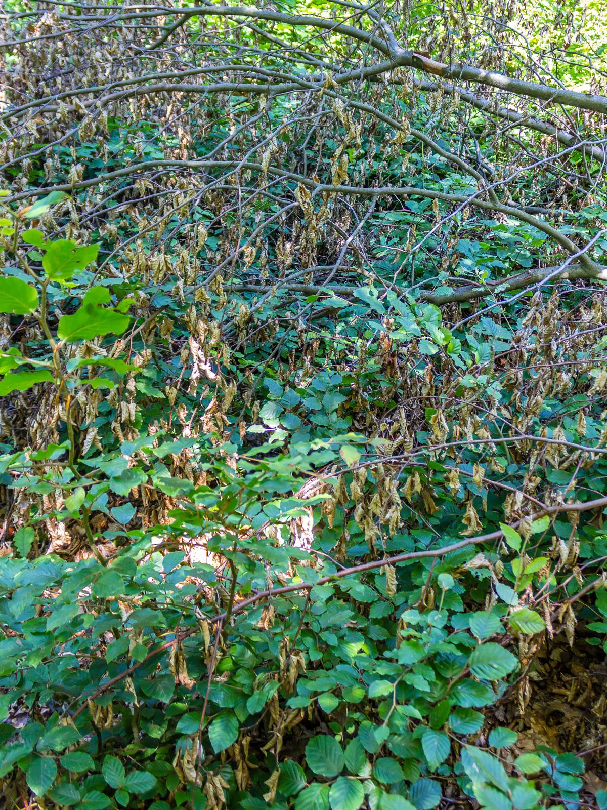 junge Buchen wachsen zwischen Kronenbiotopholz