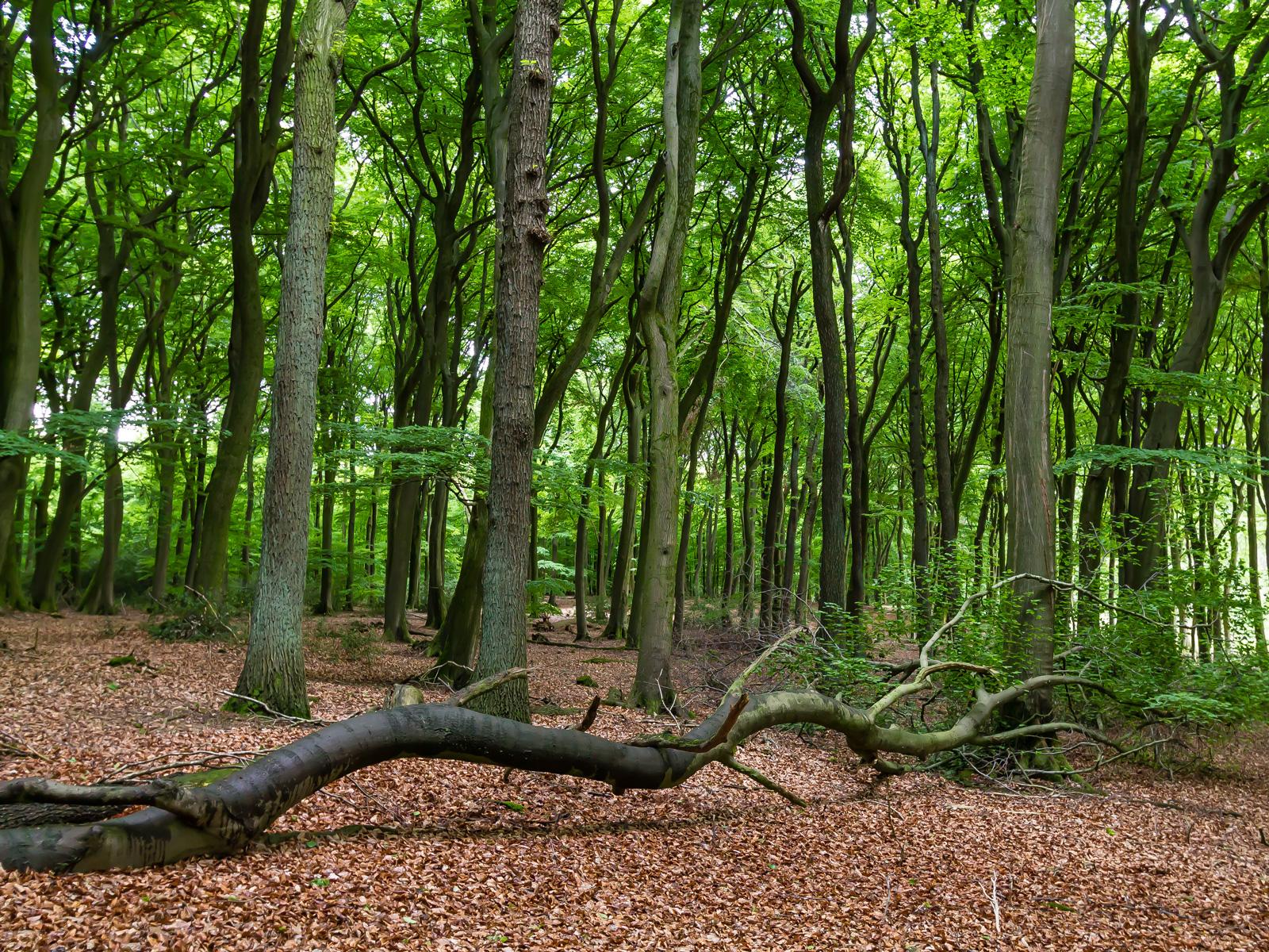 Noch Blätter tragender umgestürzter Baum