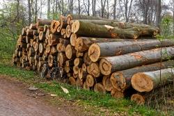 alte Bäume, geopfert auf dem Altar kurzfristiger Gewinninteressen