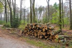 Bottrop verbrennt das Weltnaturerbe Buchenwälder