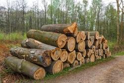 alter Habitatbaum mit Zunderschwamm liegt auf Holzpolter