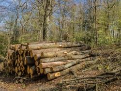 Holzpolter mit alten Eichen