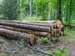 Holzpolter mit Kiefernstämmen
