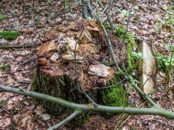 Baumstumpf mit Höhle und Verpilzung